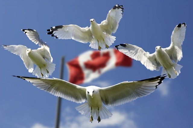 seagull canada flag immigration